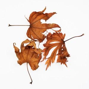 2015 Herbsblätter 3_0140 b q hp