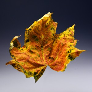 2015-Herbstlaub-2_0038aq-frei hp
